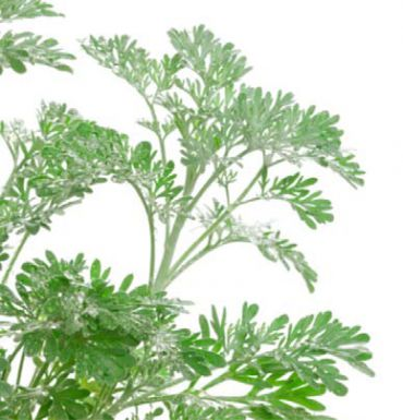 Artemisinin, a compound derived from the leaves of the annual wormwood Artemisia annua, can be used as a treatment of malaria and other diseases.