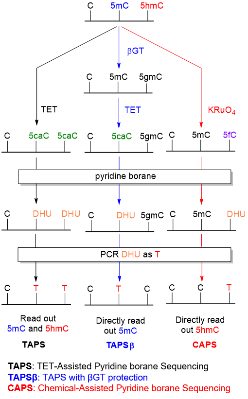 A schematic of the TAPS (TET_assisted pyridine borane sequencing), TAPSbeta (TAPS with beta-GT protection) and CAPS (chemical-assisted pyridine borane sequencing) reactions. In TAPS, 5mC and 5hmC are converted using TET enzyme to 5caC. Pyridine borane converts 5caC to DHU, which is converted to T during PCR. C to T transitions during TAPS therefore read out cytosines that were originally modified with either 5mC or 5hmC. In TAPSbeta, betaGT converts 5hmC (but not 5mC) to 5gmC. TET enzyme converts 5mC (but not 5gmC) to 5caC, which is then converted using pyridine borane to DHU (leaving 5gmC untouched). In the PCR step, DHU is converted to T and 5gmC is converted to C. C to T transitions during TAPSbeta therefore read out cytosines that were originally modified with 5mC but not those originally modified with 5hmC. In CAPS, potassium perruthenate is used to convert 5hmC (but not 5mC) to 5fC.Pyridine borane converts 5fC to DHU, which is then converted to T during PCR. C to T transitions during CAPS therefore read out cytosines that were originally modified with 5hmC but not those originally modified with 5mC.
